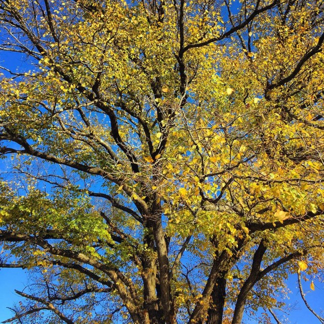 Love those yellow leaves fall yellowleaves bluesky trees fallbeauty charlottesvillehellip