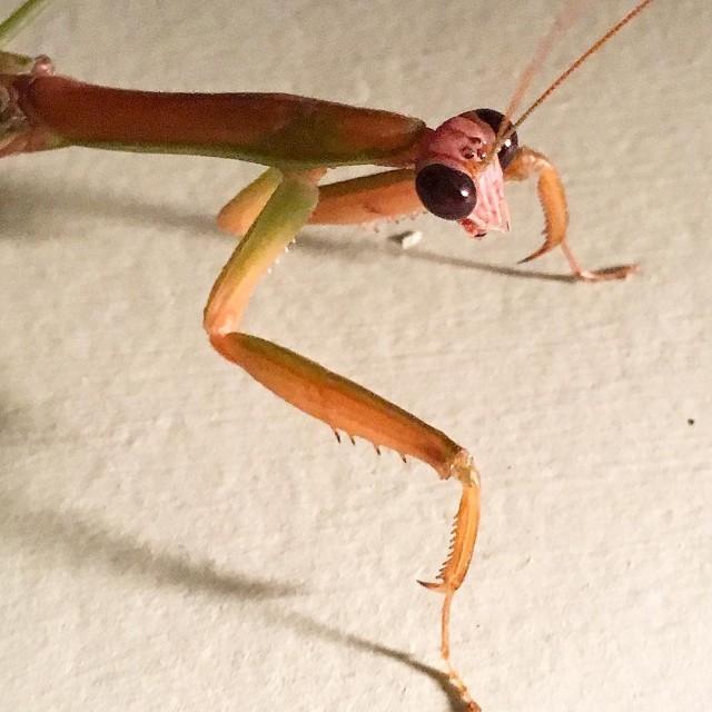 Lovely Mantis doing mantisy things this evening prayingmantis mantis